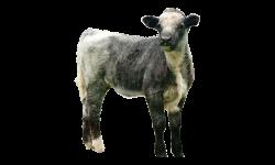 vitello (3)